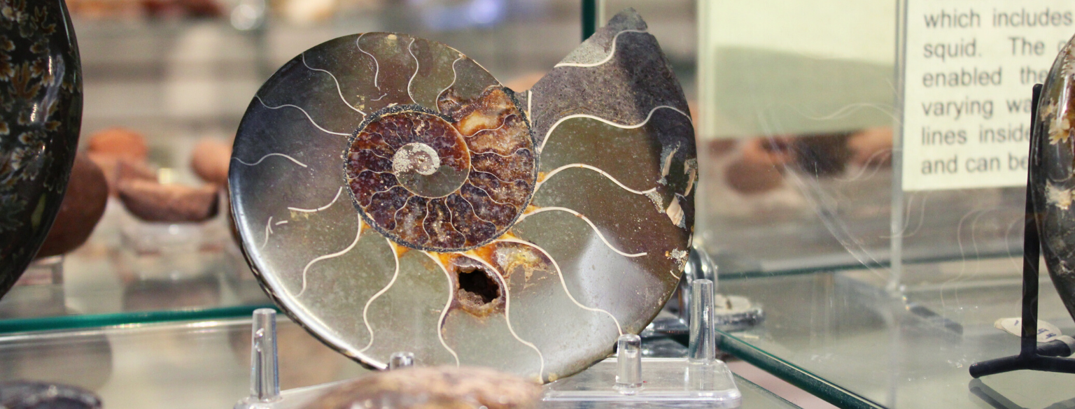 Photo of an Ammonite for sale in our gift shop