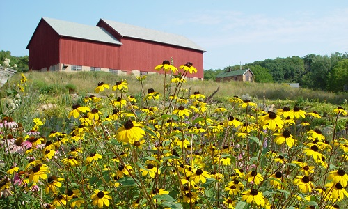 Photo of yellow flowers in our Garden with our Barn
