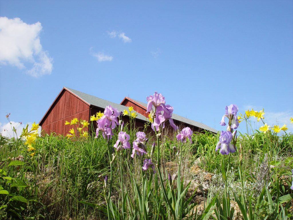 Photo of yellow and lavender Flowers with Barn in the background and blue sky.