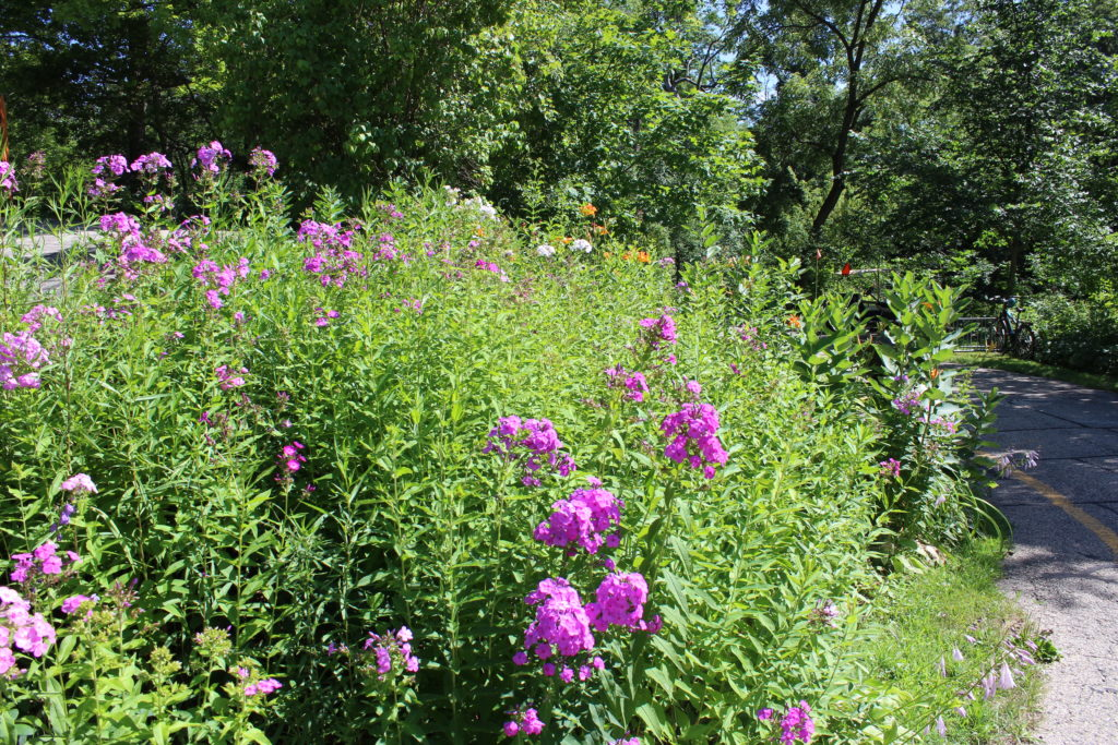 Photo of pink flowers in our prairie restoration