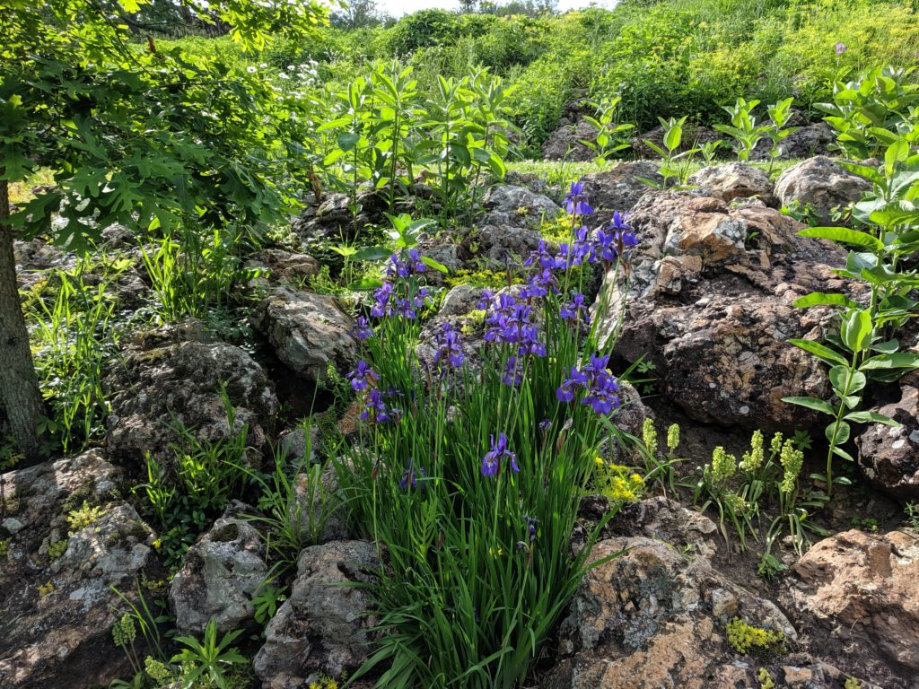 Photo of purple flowers in our prairie