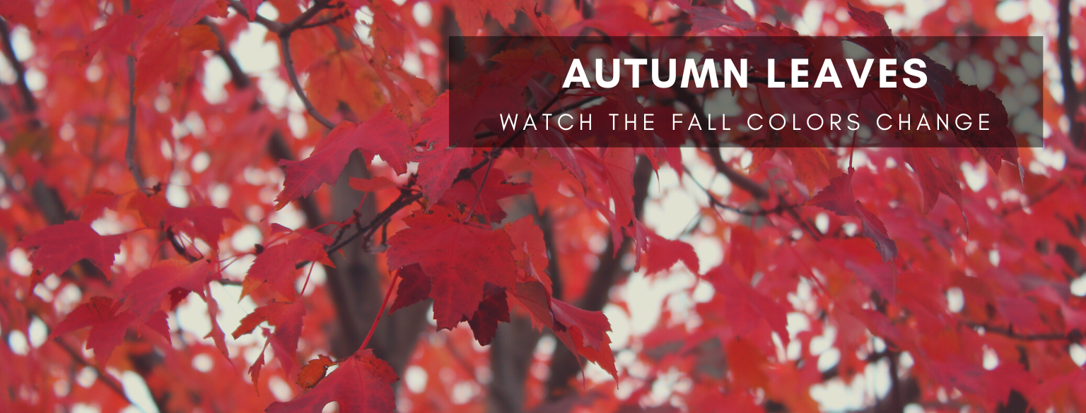 Autumn Leaves. Watch the fall colors change.