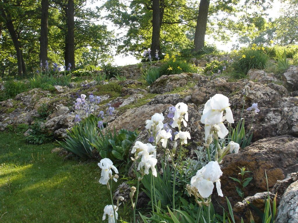 Photo of orchids along our chert boulder terraces