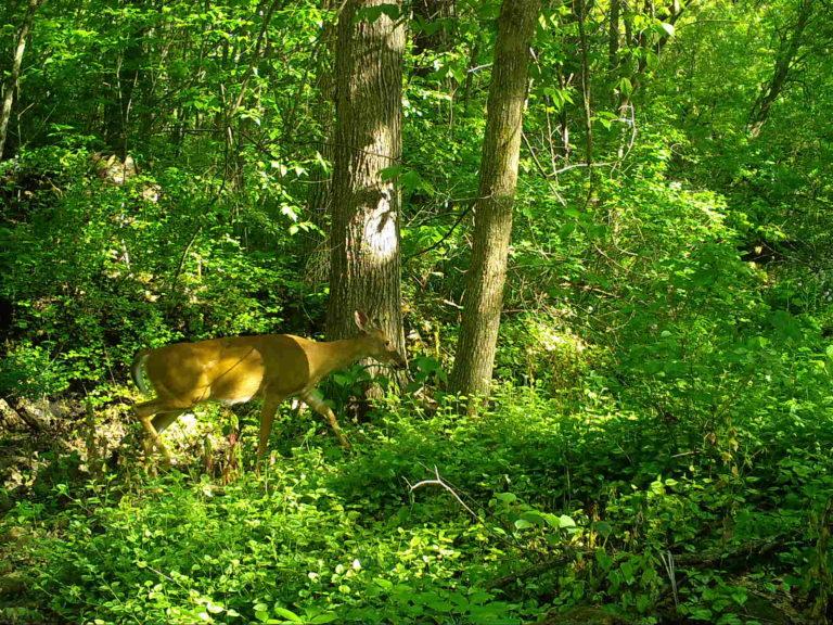 2021-05-29 Deer