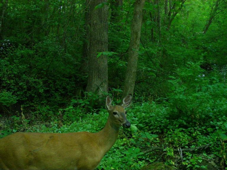 2021-06-05 Deer chewing food