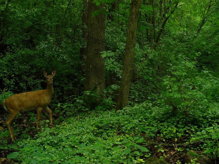 2021-06-26 Curious deer